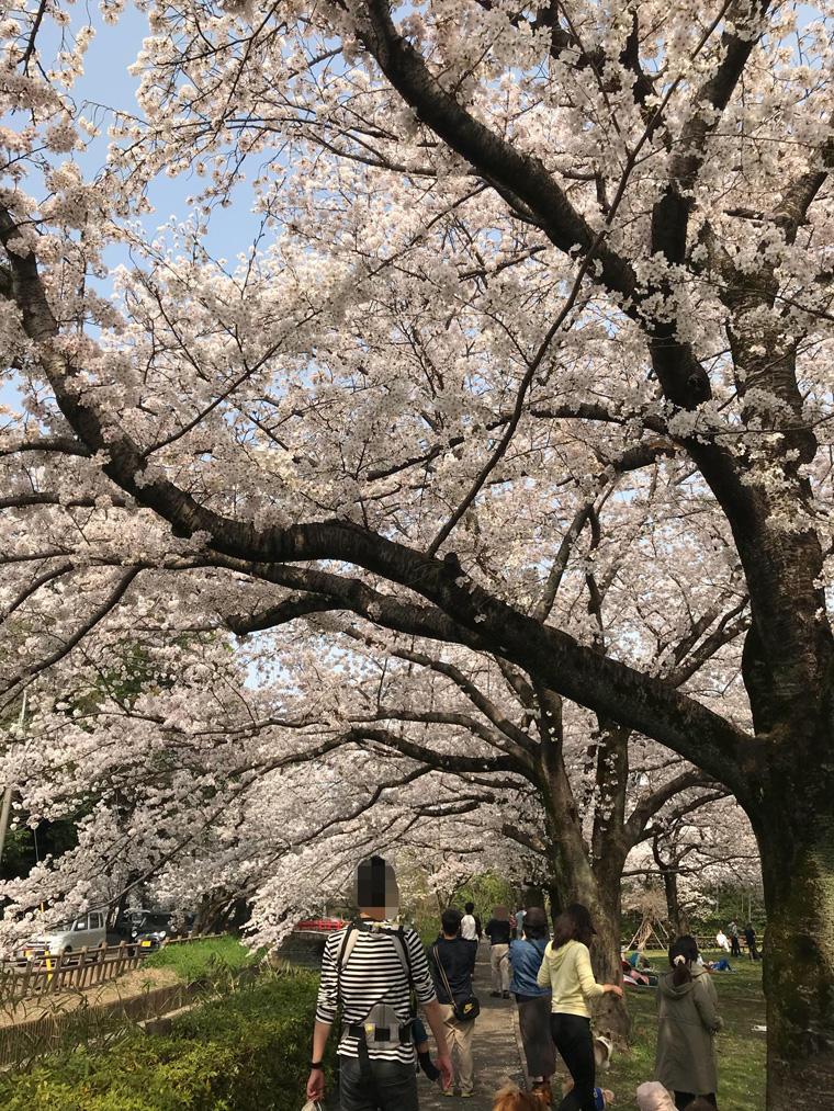 浦和美園エリアの子連れで行ける、おすすめお花見スポット!